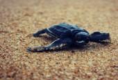 Mały żółw skórzasty, fot. shutterstock