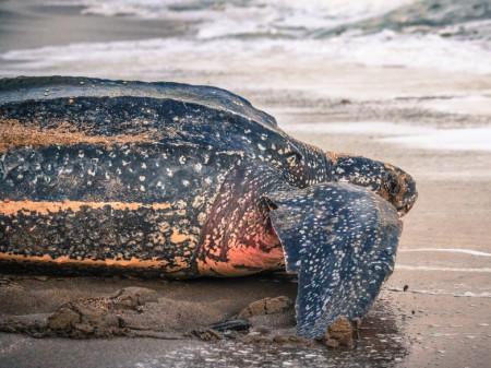 Żółw skórzasty, fot. shutterstock