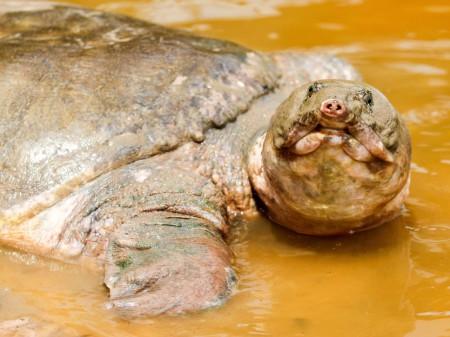 Wielki żółw Cantora, fot. shutterstock