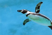 Pingwin peruwiański, fot. shutterstock