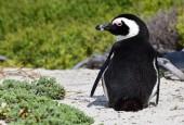 Pingwiny przylądkowe, fot. shutterstock