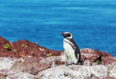 Pingwiny magellańskie , fot. shutterstock