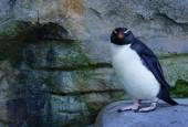 Pingwin grubodzioby, fot. shutterstock