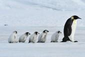 Pingwiny cesarskie z młodymi, fot. shutterstock
