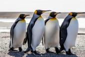 Młode pingwiny królewskie, fot. shutterstock