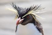 Pingwin długoczuby, fot. shutterstock