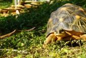 Żółw promienisty, fot. shutterstock