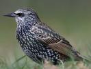 Szpak, Sturnus vulgaris, European Starling