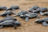 Para żółwi oliwkowych, fot. shutterstock