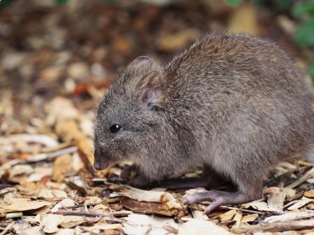 Kanguroszczur myszaty, fot. shutterstock