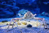 Japoński krab pacyficzny, fot. shutterstock