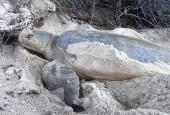 Żółw natator