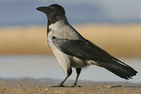 Wrona siwa, Corvus corone cornix, Hooded Crow