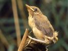 Trzcinniczek, Acrocephalus scirpaceus, Eurasian Reed Warbler