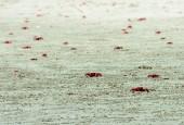 Krab czerwony, fot. shutterstock