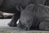 Nosorożec jawajski, fot. shutterstock