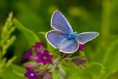 Modraszek ikar - samiec, fot. shutterstock