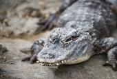 Aligator chiński, fot. shutterstock