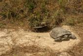 Żółw norowy, fot. shutterstock
