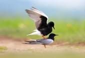 Rybitwa białoskrzydła, fot. shutterstock