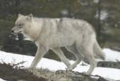 Wilk leśny