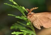 Barczatka koniczynówka, fot. shutterstock