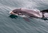 Delfinowiec białonosy, fot. shutterstock