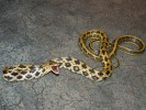 Wąż chiński, Orthriophis taeniurus, Beauty Rat Snake