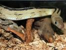 Wąż wielkooki, Bogertophis subocularis, Trans-Pecos rat snake