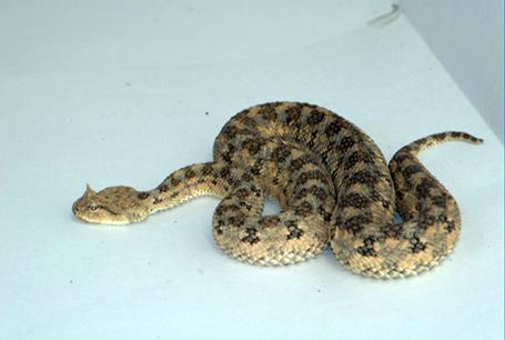 Żmija rogata, Cerastes cerastes, Saharan horned viper
