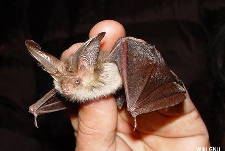 Gacek brunatny, Plecotus auritus, brown long-eared bat
