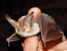 Gacek brunatny, Plecotus auritus, brown long-eared bat