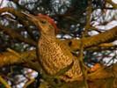 Dzięcioł zielony, Picus viridis, Green Woodpecker
