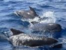 Grindwal,Globicephala melas,long-finned pilot whale