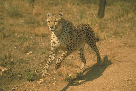 Gepard,Acinonyx jubatus,cheetah