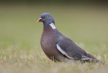 Grzywacz, Columba palumbus, Wood Pigeon