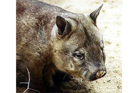 Wombat australijski, Lasiorhinus krefftii, Northern Hairy-nosed Wombat
