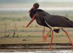 Bocian Czarny, Ciconia nigra, Black Stork