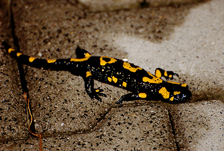 Salamandra plamista, Salamandra salamandra, fire salamander