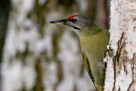 Dzięcioł zielonosiwy, Picus Canus, Grey-headed Woodpecker