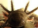 Aksolotl meksykański, Ambystoma mexicanum, axolotl