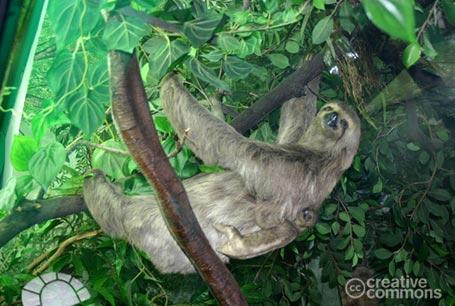 Leniwiec trójpalczasty, Bradypus tridactylus, three-toed sloths