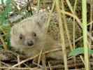 Jeż europejski,jeż zachodni,Erinaceus europaeus,European Hedgehog