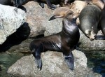 Uchatka kalifornijska, Zalophus californianus,  California Sea Lion