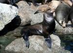 Uchatka kalifornijska, Zalophus californianus,  California Sea Lion