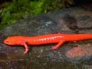 Salamandra czerwona, Pseudotriton ruber, red salamander