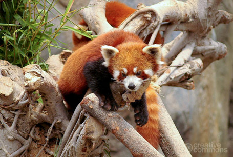 Panda mała, Ailurus fulgens, red panda