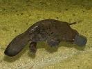 Dziobak,Ornithorhynchus anatinus,platypus