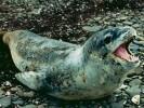 Lampart morski,Hydrurga leptonyx,Leopard seal