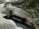 Foka pospolita,Phoca vitulina,Harbor Seal,Common Seal